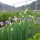 """New sets are forming on the tops of my """"seed"""" onions. These are planted in a perennial flower bed."""
