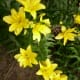 Yellow Asiatic lilies.