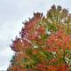 Bradford Pear tree showing Fall colors
