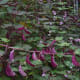 The purple bean pods add to the beauty of this multipurpose plant.