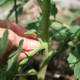 mulching-staking-pruning-your-way-to-better-tomato-plants