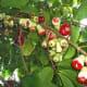 Ripening fruits,