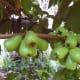 Green unripe fruits.