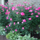 Large, pink Knockout roses effectively fill a space on one side of the house.