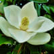 southern-magnolias-in-deep-south-landscapes