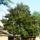 Southern Magnolia tree trimmed up from the ground.