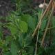 Peas climbing trellis using wooden poles.