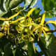 The flowers of the ylang-ylang tree are highly regarded in the worlds of perfumes and essential oils.