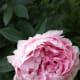 Pink Sarah Bernhardt peony flower.
