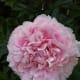Soft pink peony flower.