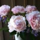 Peonies make beaufiful cut flower arrangements.