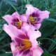 Pink and purple daylilies