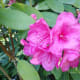 Even when a flower can be classified as pink, it may not be the same shade as the pink flowers on another bush.
