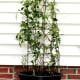 confederate-jasmine-how-to-plant