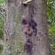 Phytophthora bleeding canker in a beech tree