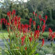 Anigozanthos -Kangaroo paws- beautiful Australian native