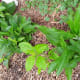 Comfrey is very easy to grow and propagate. I planted comfrey in this area a year ago. At the end of summer, I dug the plants up because I decided to make a walkway and wanted the comfrey for other areas. This spring, the comfrey came up both places.