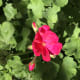 Geraniums are, by far, the easiest flower to grow, which makes them my favorite!