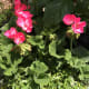 how-to-propagate-geraniums-using-cuttings