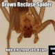 Notice the three distinct sets of eyes of a Brown Recluse Spider.
