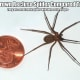 In this photo, you can see an adult Brown Recluse Spider compared to a U.S. Penny. Yes, they are that small.
