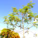 My Moringa o. tree on September 10, 2016, filled with seed pods.