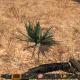 Harvesting Aloe