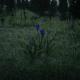 Violet Snowdrop