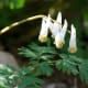 Dutchman's Breeches.