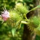 The burdock root has been shown to relieve eczema, as well as acne, psoriasis, and other skin conditions.