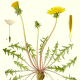 The dandelion root is filled with the vitamins and minerals discussed above, including vitamin A, B, C, and D, iron, potassium, and zinc.