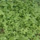 Chickweed (Stellaria media) herb helps stop itch on contact.