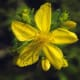 St. John's Wort (Hypericum perforatum) contains hypericin, which acts as a natural antiviral against herpes.