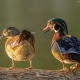 The male and female wood duck are very compatible.
