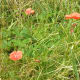 A group of poppies growing wild.