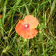 A single wild poppy that was the inspiration for many of my mum's paintings.
