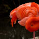 Flamingos can sleep standing up—like this!