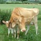 A Guernsey cow and her calf