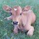 A Jersey calf