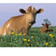 do-guernsey-or-jersey-cows-produce-the-better-milk