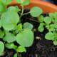 Oregano seedlings, slowly growing in my balcony garden.