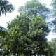 Breadfruit trees