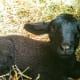 Her offspring are frequently handsome little devils who grow up to have either rust-colored or blue wool, like her.