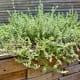 Herbs grown in backyard
