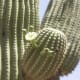 Delicate white flowers on the arm of a giant saguaro cactus