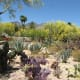 Purple Prickly Pear and other cacti in foreground with yellow blooming Paloverde trees in background.