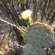 Close up photo of flower on leaf of a prickly pear cactus.