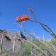 Ocotillo in bloom along Finger Rock hiking trail in Tucson