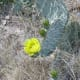 Leaf and bloom on a prickly pear cactus.