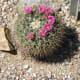 Cactoceae Cactus  in bloom